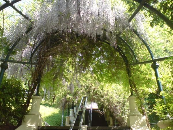 ויסטריות נוטפות בפארק בלוויל
