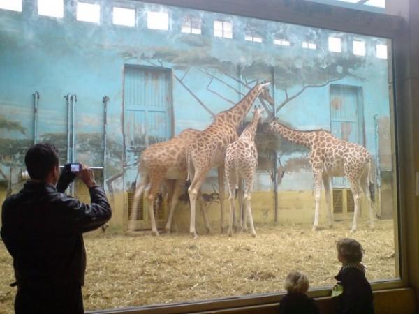 giraffes-en-zoo-vincennes